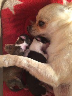 Snuggles with momma <3 BonBon Chihuahuas