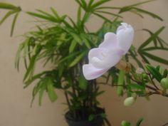 Registrei a evolução da minha linda flor!  E no fim da tarde já revelava seu lindo tom lilás <3