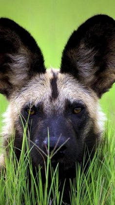 The African wild dog, also called the hunting dog, is a vanishing species in East Africa. Field studies have shown that the wild dog is a highly intelligent and social animal.