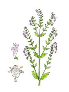 Scutellaria lateriflora, mad, skullcap, insomnia. antidepressant!