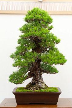 Cork bark black pine bonsai.