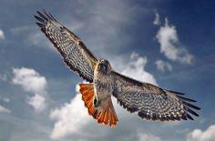 red-tailed hawk        (photo by beachwalker2008)