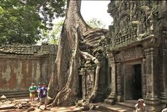 Giant fig trees have overgrown the ruins of Ta Prohm at Angkor Wat, Cambodia, most famous as site for filming of movie Tomb Raider