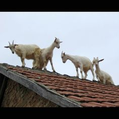 Goats on the roof...wonderful stop when we were traveling through Ga