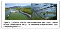 Mass Cultivation from a Korean Raceway Pond System of Indigenous Microalgae as Potential Biofuel Feedstock