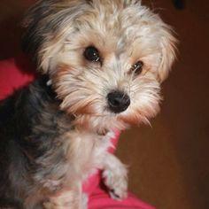 Dog Hair Cuts Style   Lhasa Apso Haircuts   Dog Breeds Index   Dress ...
