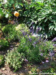 Augustgarten: Lavendel The garden in August: lavender