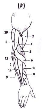 1-deltoides  2-bíceps  3a-triceps basto externo  3b-triceps porción larga  3c-triceps basto interno  4-braquial interior  5-supinador largo  6-extensor carpo radial  7- extensor común  8-extensor corto del pulgar  9-extensor carpo cubital  10- pronador  11-flexor carpo radial  12- palmar largo  13-flexor carpo cubital  14-extensor corto de los dedos  15-anconeo  16-flexores de la mano  17-radial del brazo