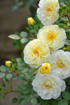 Add floribunda roses to the mix for summer color in sun.