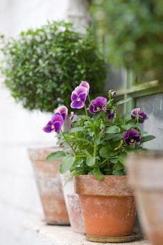 Violas in clay pot
