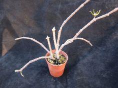 "Cynanchum marnierianum (""Stick Plant"") Cactus, Succulents, Prickly Pear Cactus, Cactus Plants, Succulent Plants"