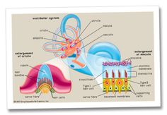 Vestibular system, apparatus of the inner ear involved in balance. It consists of two structures of the bony labyrinth of the inner ear, the vestibule and the semicircular canals, and the structures of the membranous labyrinth contained within them. Vestibular Neuritis, Vestibular System, Sensory System, Nerve Fiber, Human Ear, Human Body Parts, Cranial Nerves, Human Anatomy And Physiology, Human Body