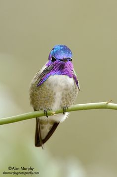 Costa's Hummingbird.. tattoo inspiration,  looove the colors on this lil guy