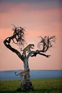 Cheetahs - Africa