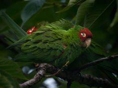 Aratinga | Fil:Aratinga erythrogenys - feral birds resting.jpg – Wikipedia