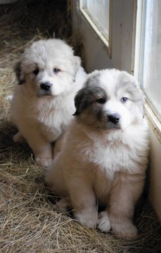 Great Pyrenees Puppy at Boondockers Farm