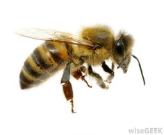 Why is Utah Called the Beehive State? (with picture)