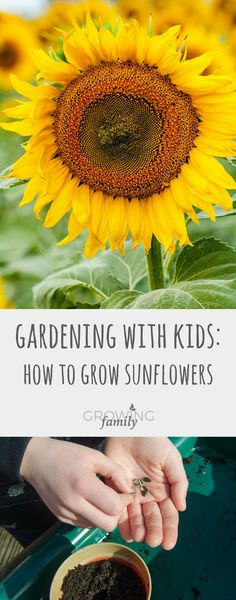If you want to get the kids involved with gardening, growing sunflowers is the ideal project! Check out this step-by-step guide to making it a success.