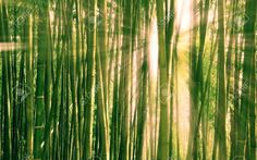 Stock Photo - sunlight breaking through a bamboo forest