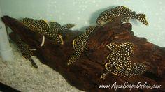 Gold Nugget Pleco Plecostomus, Beautiful Fish, Sea World, Aquarium Fish, Fish Tank, Gold, Animals, Pisces, Fishbowl