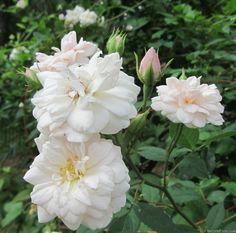 'Moulton Noisette' Rose Foto