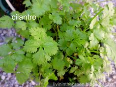 Livin' In The Green: Growing Cilantro in Pots All Season
