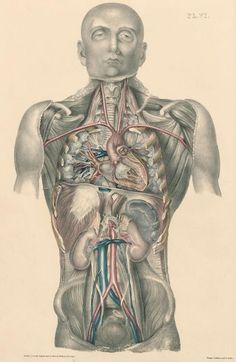 Plate IV. A view of internal organs with the intestines pushed aside ...