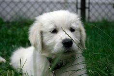 He is my little Golden, Ozy:) We love Him! :)