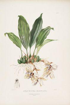 Stanhopea martiana