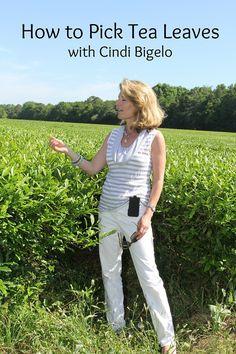 Picking Tea Leaves with Cindi Bigelow. @Bigelow Tea #PickingTea #PickingTeaLeaves