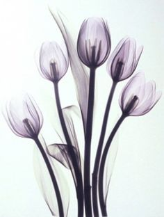 xray art ... tulips.........love these......so cool!
