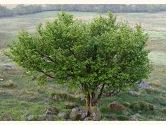 Favored by the melodious Nightingales,& the comical Nightjars- the Hazel tree(Corylus avellanus) is a  nut tree native to Britain.NightJars also love coppiced Hazel-wood stands.Hazel trees are key larval hosts for Moths that NightJars depend on.Fritillary butterflies,as well as other butterflies & moths that those two night birds need to feed their young-also depend on Hazel,Chestnut,Ash,Alder,birch,Oak,& Willow mixed forests-particulary if coppicing has encouraged heavy underbrush.So,if you…