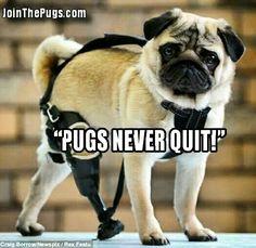 #Pugs never stop & never give up! www.jointhepugs.com #pug #pugpower #pugsnotdrugs #puglove #cuteness #puglover #pugnation #dogs