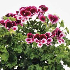 Geranium 'Angels Perfume' - Scented Leaf Geraniums - The Vernon Geranium Nursery Angel Perfume, Potting Tables, Garden Landscaping, Landscaping Ideas, Rare Plants, Pansies, Pretty Flowers, Container Gardening, Flower Power