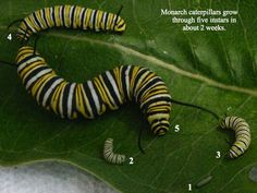 A monarch caterpillar sheds its exoskeleton 5 times. It goes through five instars. An instar is a stage between molts. When the caterpillar emerges from it egg it is a first instar caterpillar. Monarch Caterpillar, Hungry Caterpillar, Largest Butterfly, Monarch Butterfly, Butterfly Plants, Citizen Science, Butterfly Life Cycle, Garden Oasis, Gardens