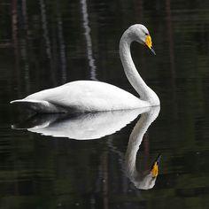 Kuvahaun tulos haulle laulujoutsen Swan, Animals, Swans, Animales, Animaux, Animal, Animais