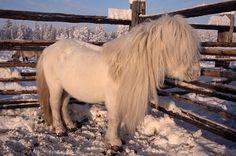 A Yakut horse (stallion) in a corral at a herders' winter camp near Bala. Yakutia, Siberia, Russia. © Bryan & Cherry Alexander Photography / ArcticPhoto