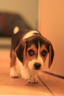 Most Popular  Beagle Names Click the picture to read