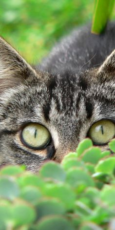 """""""A cat is a lion in a jungle of small bushes."""" --Indian Proverb"""