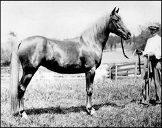 Satwan (*Deyr x *Haffia) 1911 chestnut mare. Ancestor of Second Foundation stallion Ralf.