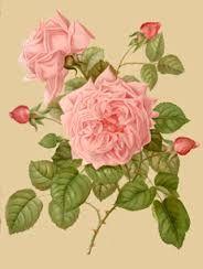 Image result for old rose breeds