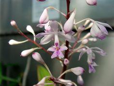 Epidendrum rondoniense
