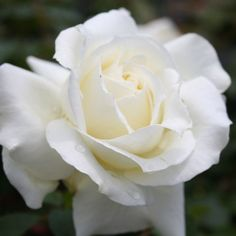 Memoire - Roses/Special Occasion at the Wairere Nursery Online Store