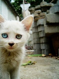 A white kitten with one blue eye and one green eye.