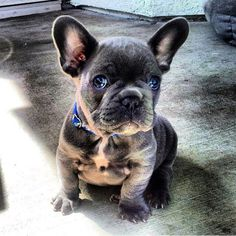 One of my favorite dogs. Blue French Bulldog Puppy.