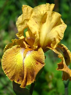 TB Iris Germanica 'Celtic Prince'