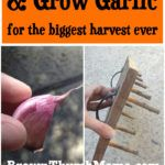 How to Plant and Grow Garlic