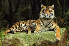 From Getty: SYDNEY, AUSTRALIA - OCTOBER 25: Sumatran tiger Jumilah is seen with one of her cubs on display at Taronga Zoo on October 25, 201...