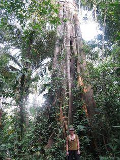 Huge trees!! Peru - The Amazon Jungle! Tambopata National Park ~ via Flickr