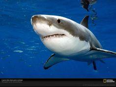 Ovovivíparos: Son aquellos animales que se desarrollan en un huevo como los ovíparos pero ese huevo se encuentra en el interior de la madre,se rompe en canal de parto y nacen, lo cual combina las características anteriores. los tiburones y algunas serpientes e insectos se desarrollan así.